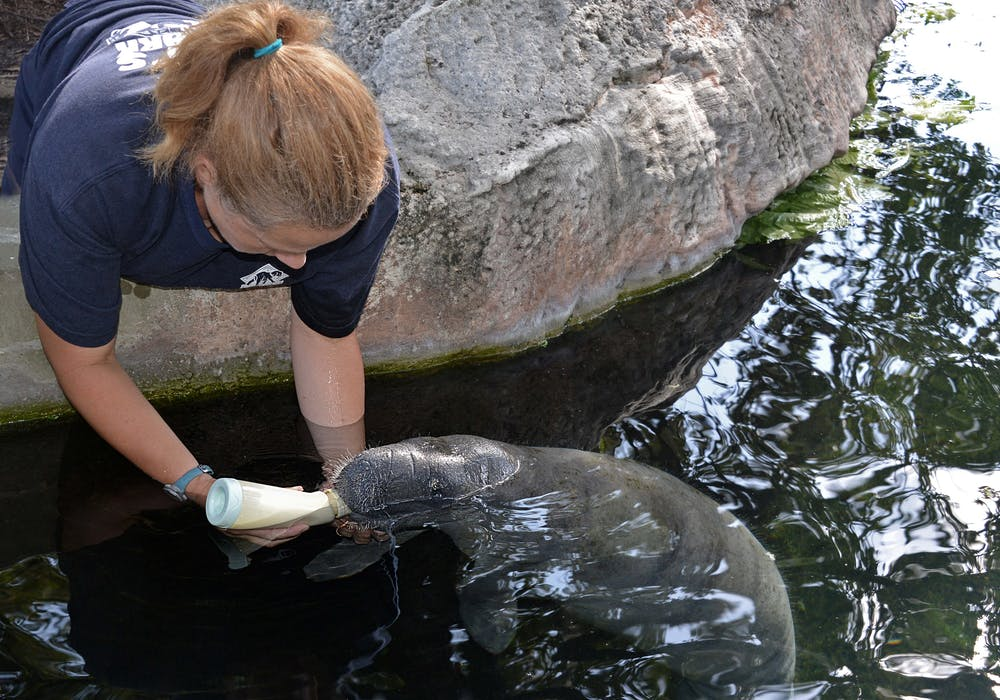 florida-boardwalk-manatee-baby-keeper-vet-bts-2013-1